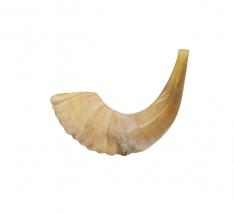 Shofar de Carneiro Semipolido